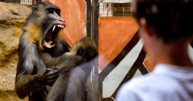 Report: Spanish Biologist Working on 'Human-Monkey Hybrids' in China